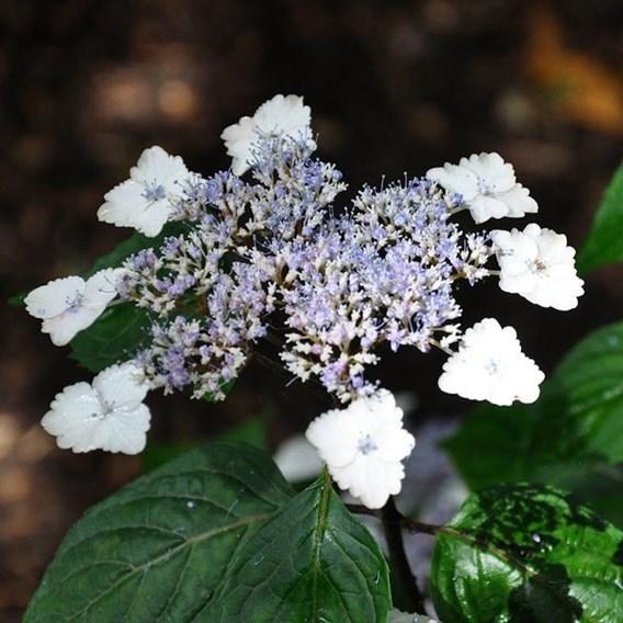 Hydrangea serrata Plant - Intermedia (Acuminata)
