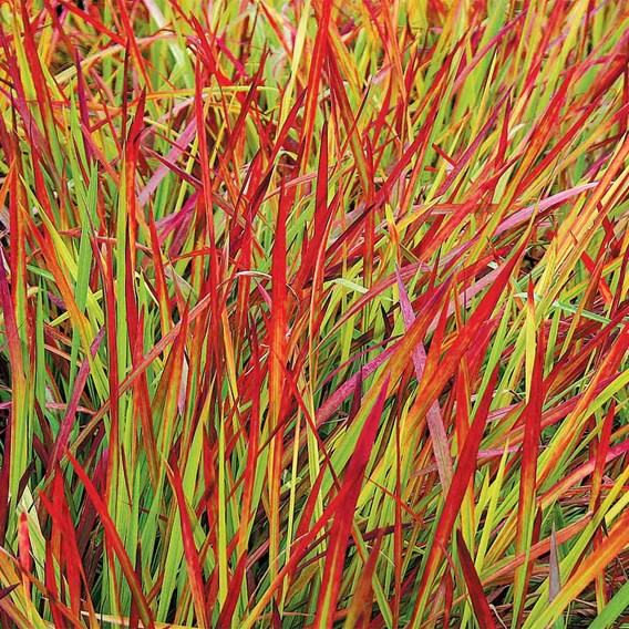 Japanese Blood Grass - Red Baron