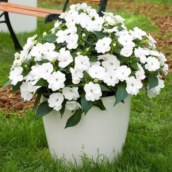 Impatiens Sunpatiens Plant - White