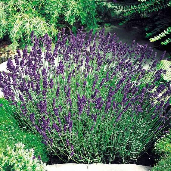 Lavender Seeds - Hidcote Blue