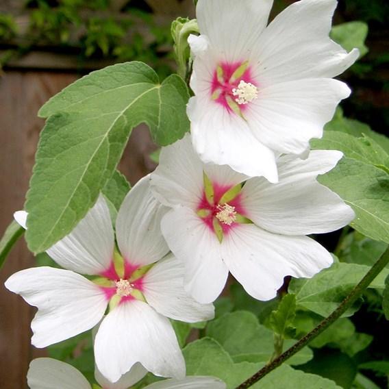 Lavatera Plant - Baby Barnsley
