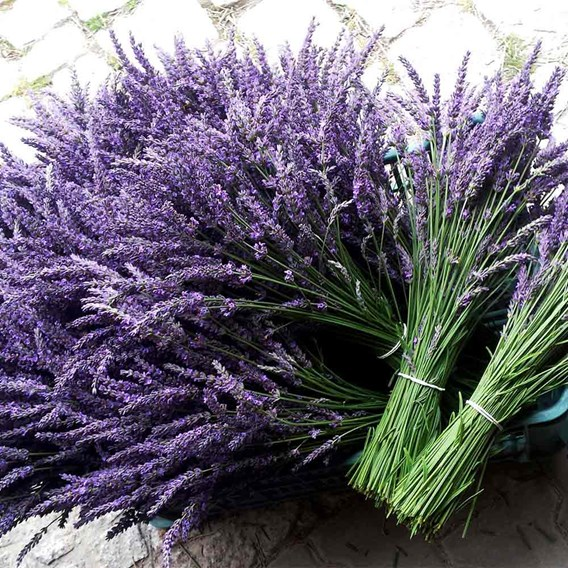Lavender Plants - Phenomenal