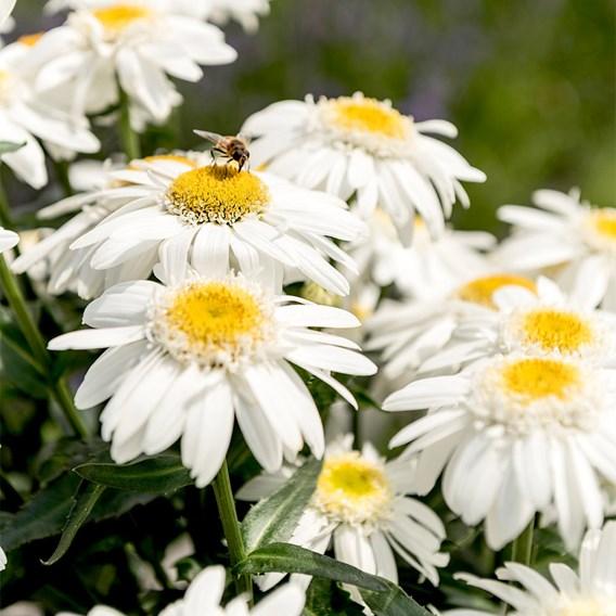 Leucanthemum Sweet Daisy Birdy 2Ltr