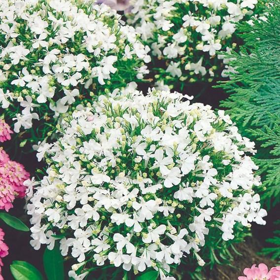 Lobelia Seeds - White Lady