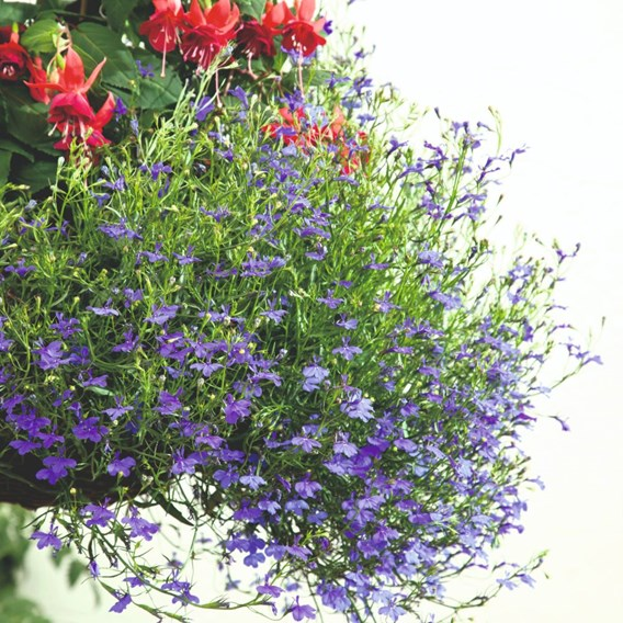 Lobelia Seeds - Monsoon