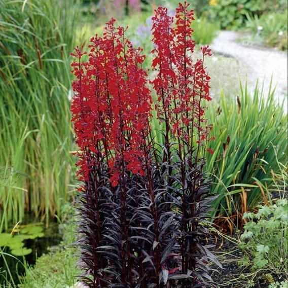 Lobelia Seeds - Queen Victoria