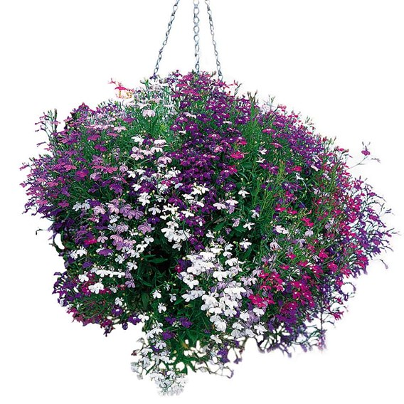 Lobelia Trailing Plants - Wonderfall Mixed
