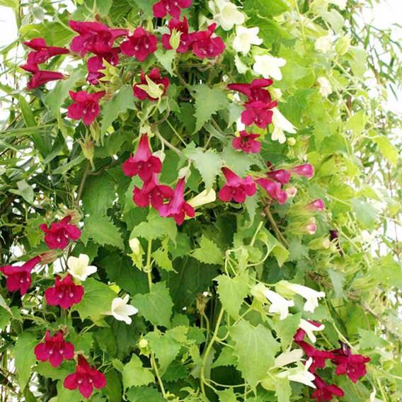 Lofos Plants - Twin Pack