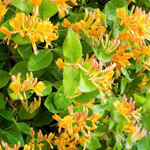 Lonicera henryi 'Copper Beauty' Noble® (PBR)