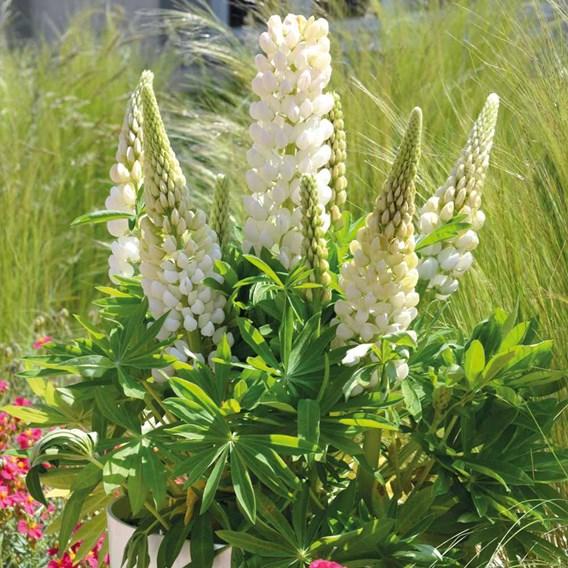 Lupin Plants - Mini Galllery White