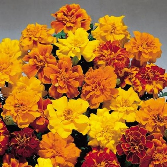 Marigold French Seeds - Summer Loving Mix