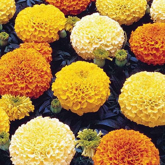 Marigold African Seeds - F1 Marvel Mix
