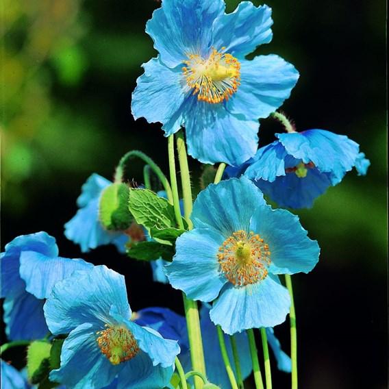 Himalayan Poppy Seeds - Lingholm