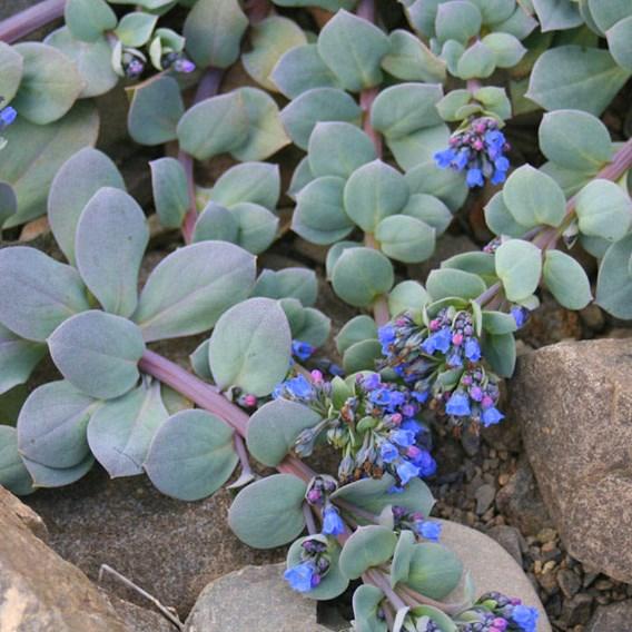 Oyster Leaf Plant Seeds