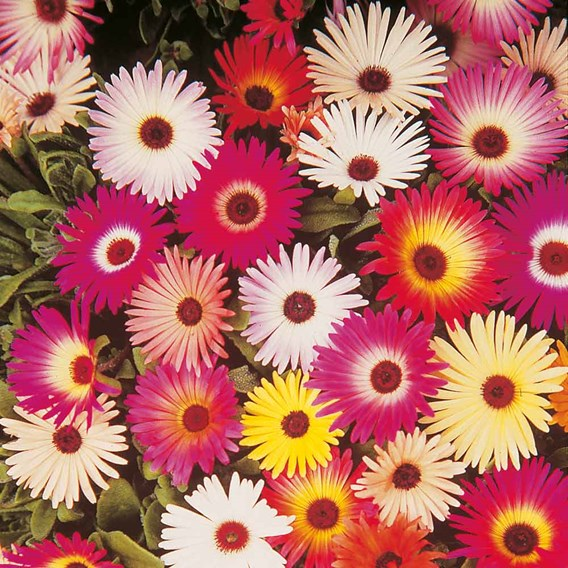 Livingstone Daisy Seeds - Sparkles Mix