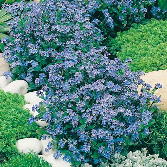 Forget-Me-Not Seeds - Spring Symphony Blue