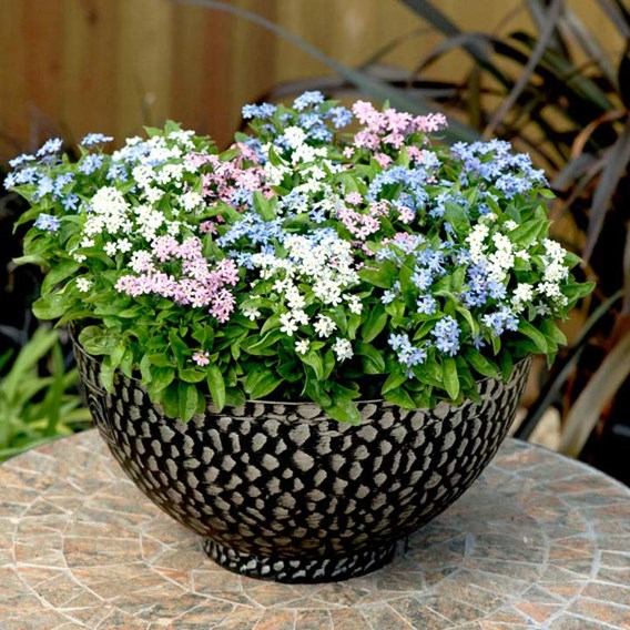 Forget-Me-Not Plants - Mon Amie Mixed