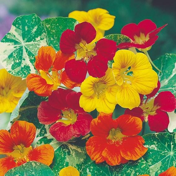 Nasturtium Seeds - Jewel of Africa Mix