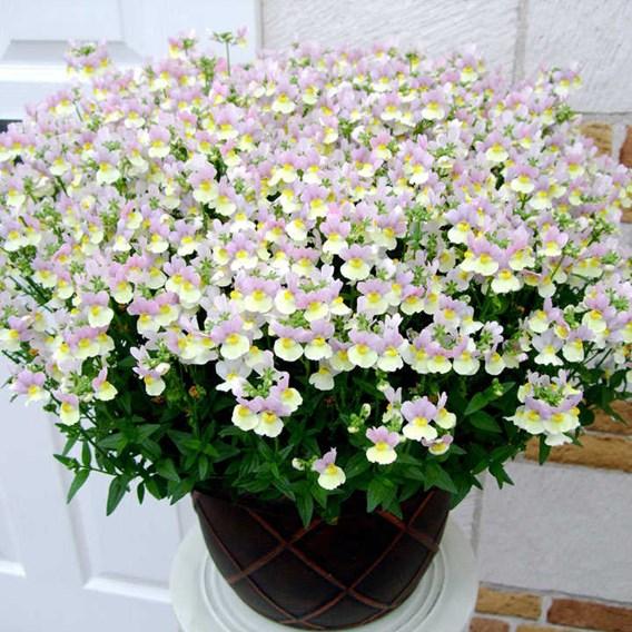 Nemesia Plants - Easter Bonnet