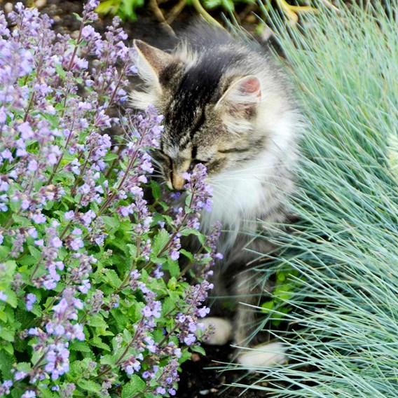 Nepeta Plant - Purrsian Blue