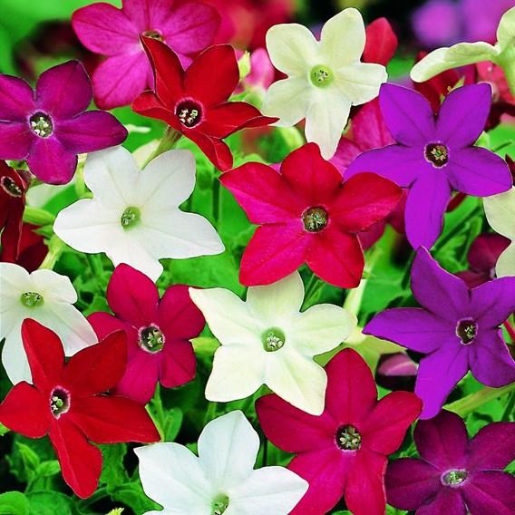 Nicotiana Seeds - Evening Fragrance Mix