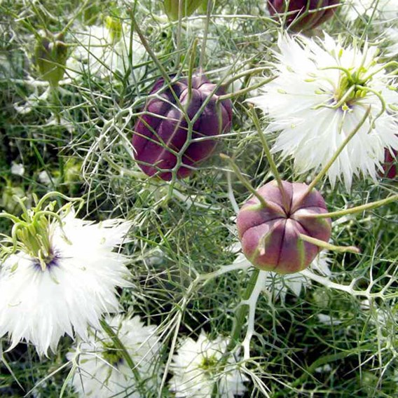 Love-in-a-Mist Seeds - Albion Black Pod