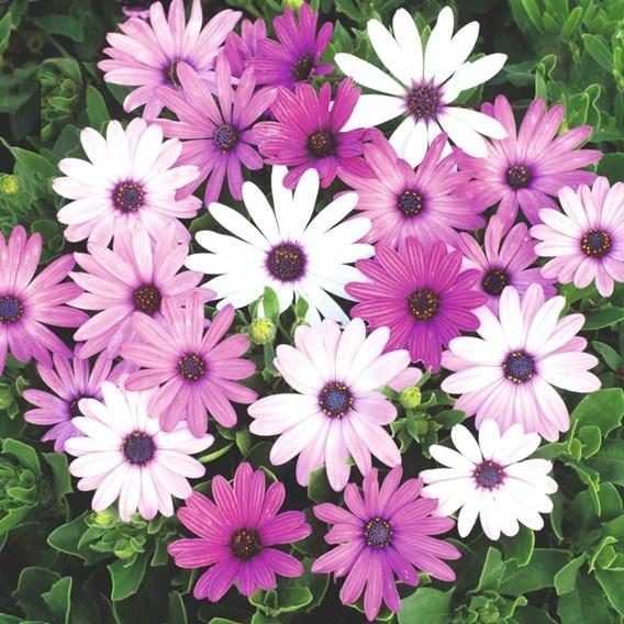 African Daisy Seeds - Ecklonis Mix