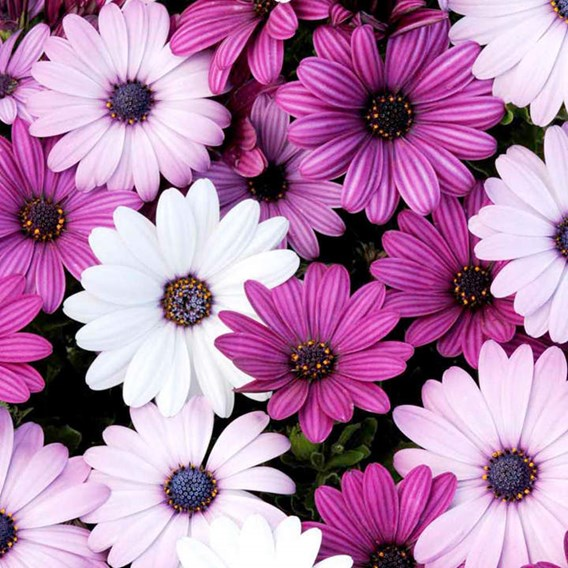 Osteospermum Plants - Akila Mix