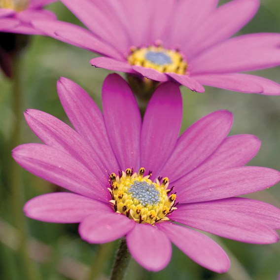 Osteospermum In the Pink 2Ltr