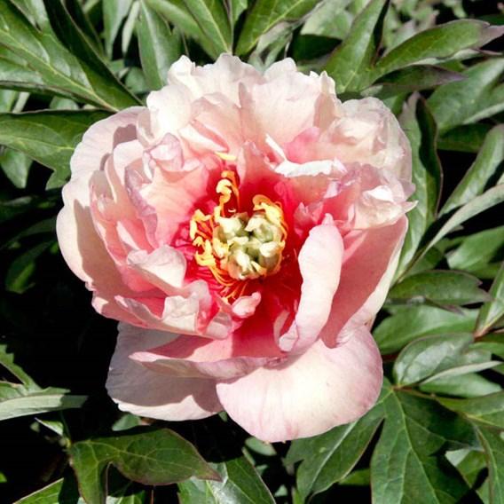 Paeonia ITOH 'Canary Brilliants'