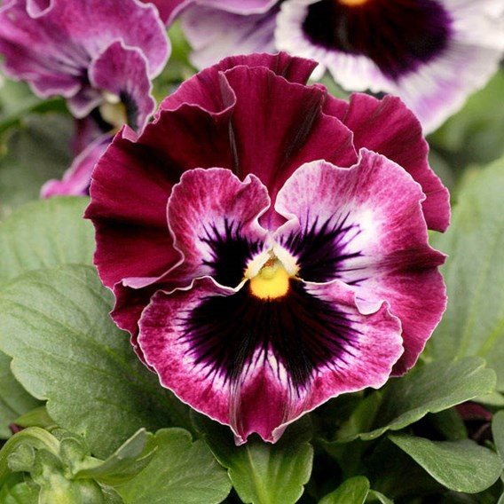 Pansy - F1 Frizzle Sizzle Raspberry