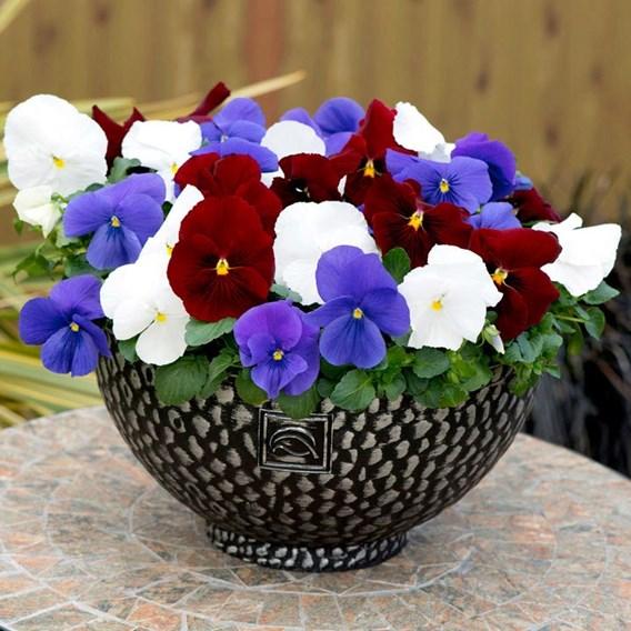Pansy Plants - Britannia Mixed
