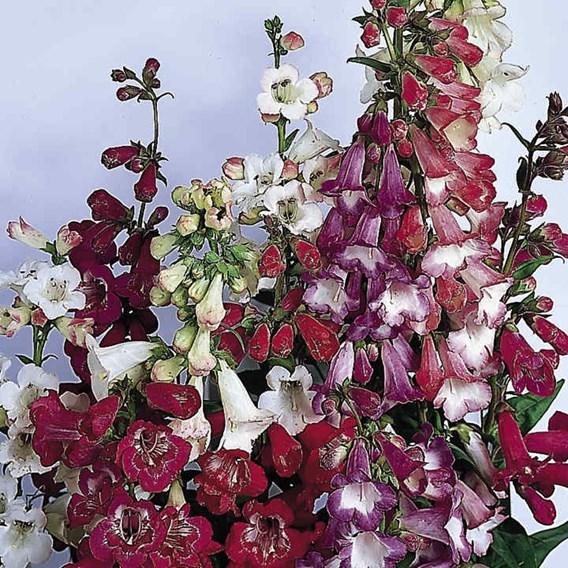 Penstemon Seeds - Beloved Bells Mix