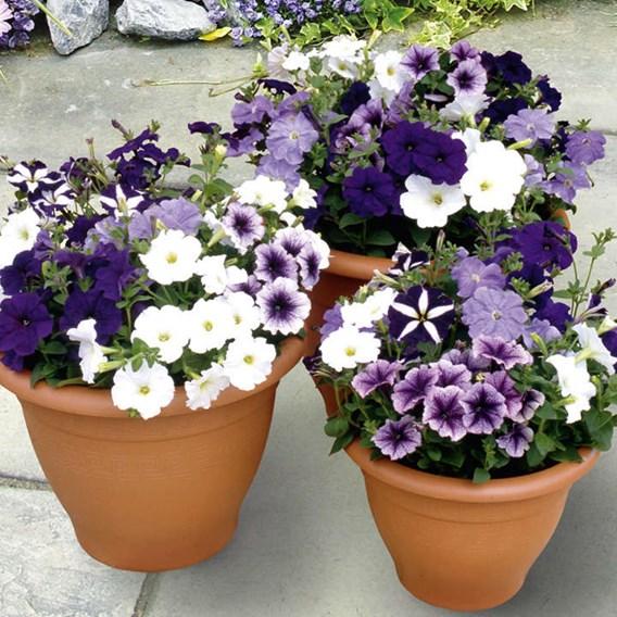 Petunia Plants - Grand Rapids(P9X6)