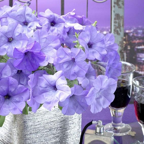 Petunia Plants - F1 Evening Scentsation