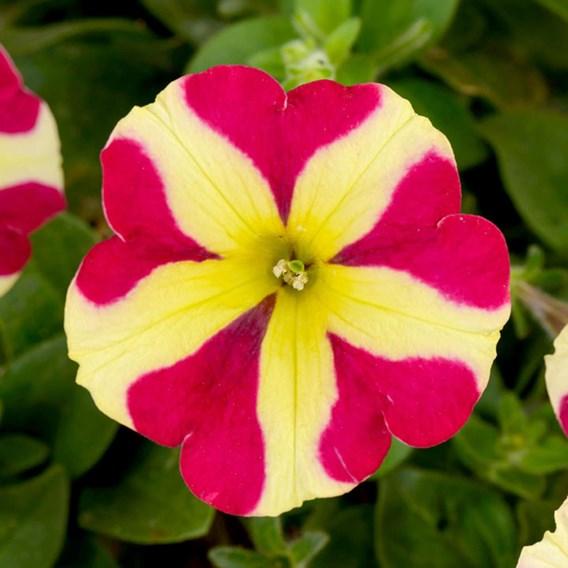 Petunia Amore Queen of Hearts P9 x3