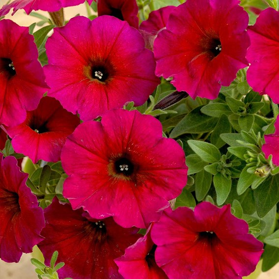 Super Petunia (Beautical) Plants - Bordeaux