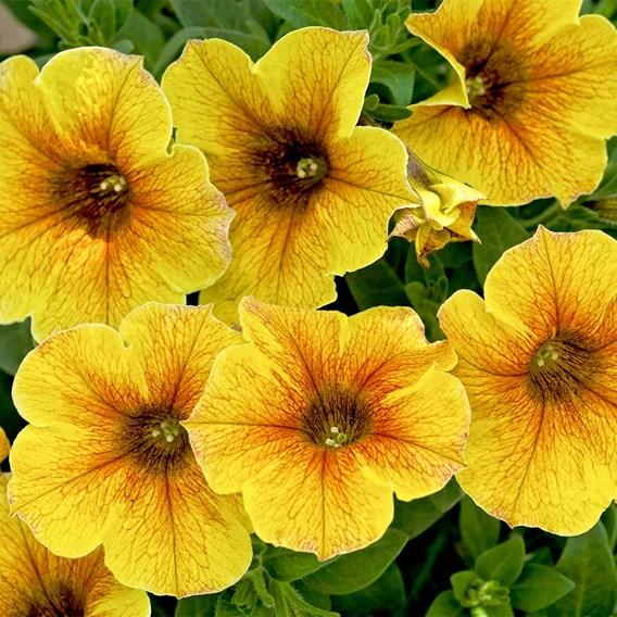 Super Petunia (Beautical) Plants - Caramel Yellow