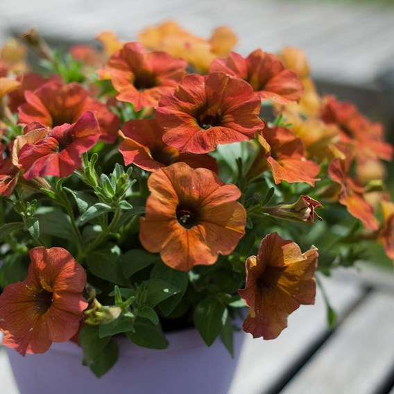 Super Petunia (Beautical) Plants - Cinnamon