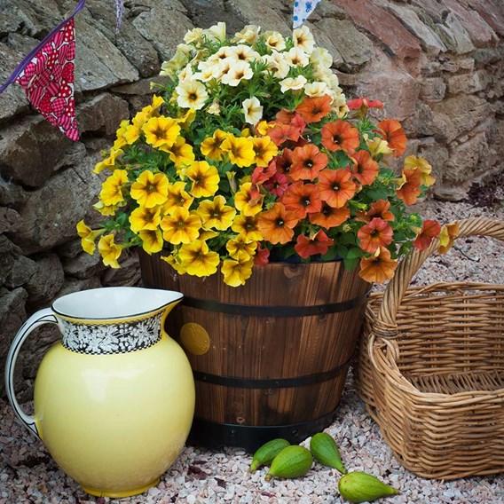 Super Petunia Plants