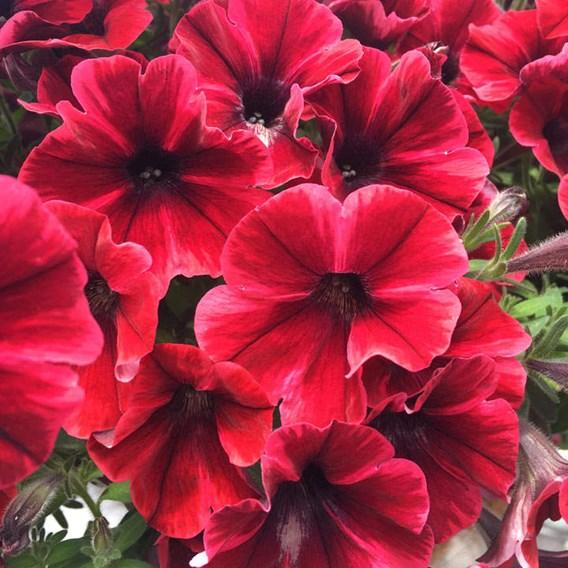 Petunia Plants - Fiona Flash