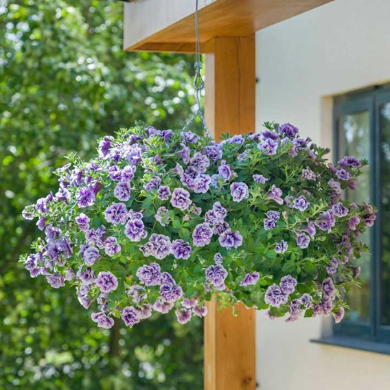 Petunia Tumbelina Priscilla Profusion (3)