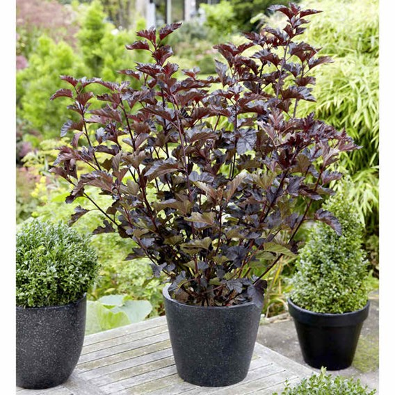 Physocarpus opulifolius MIDNIGHT®