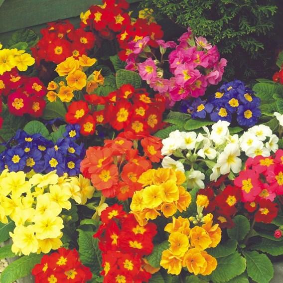 Polyanthus Plants - F1 Spring Fever
