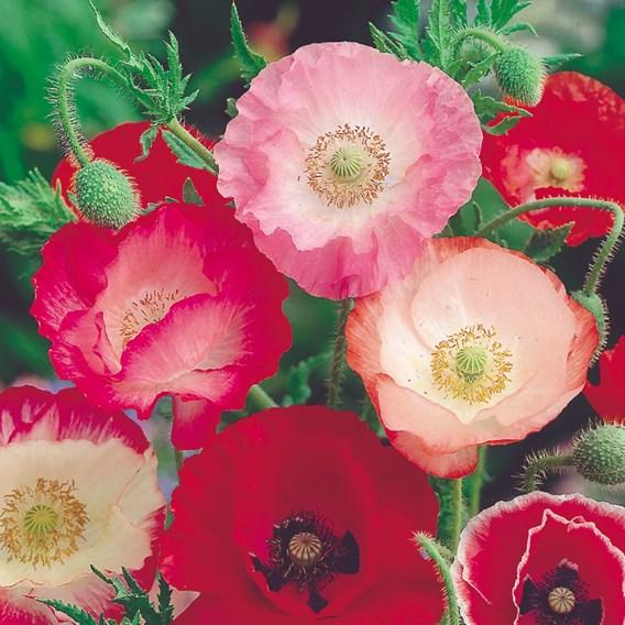 Poppy Seeds - Shirley Mix