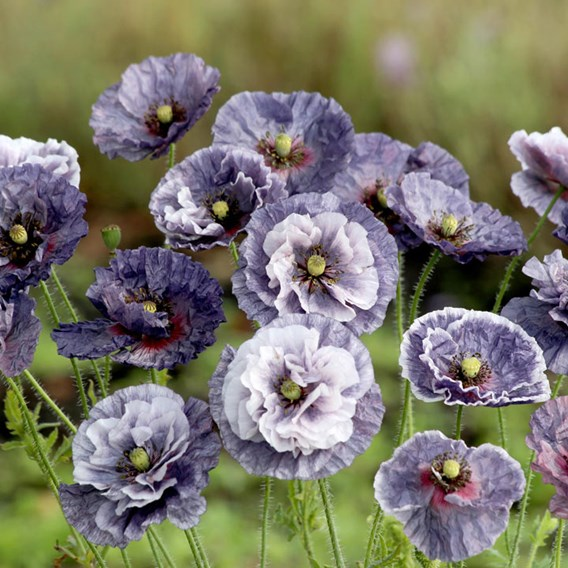Poppy Seeds - Amazing Grey