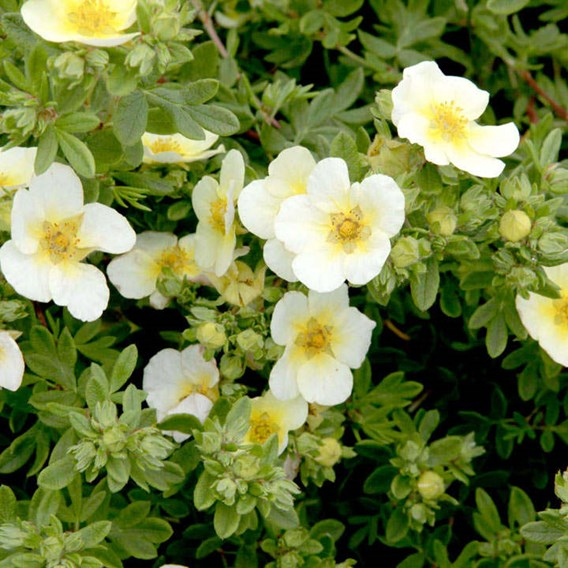 Potentilla f. 'Limelight'