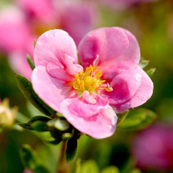 Potentilla f. Pink Paradise®