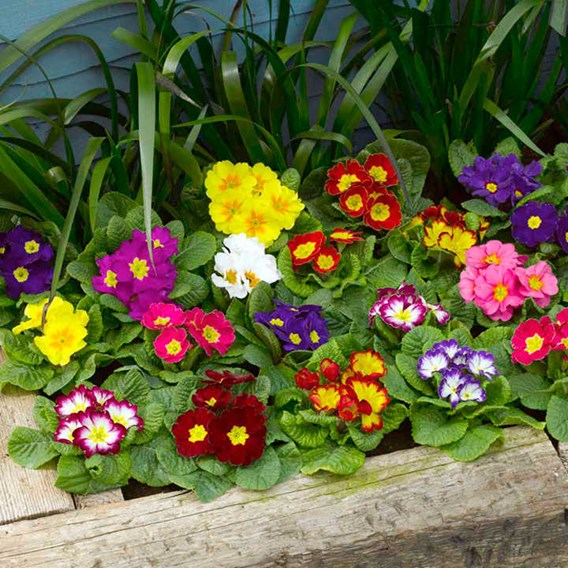 Primula Plants - F1 Select Mix