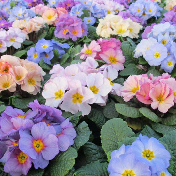 Primula Plants - Provence Mix
